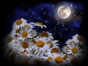 0a1977d51bb9b8b429642da61196e4e0 300x225 Ромашка   волшебный цветок........